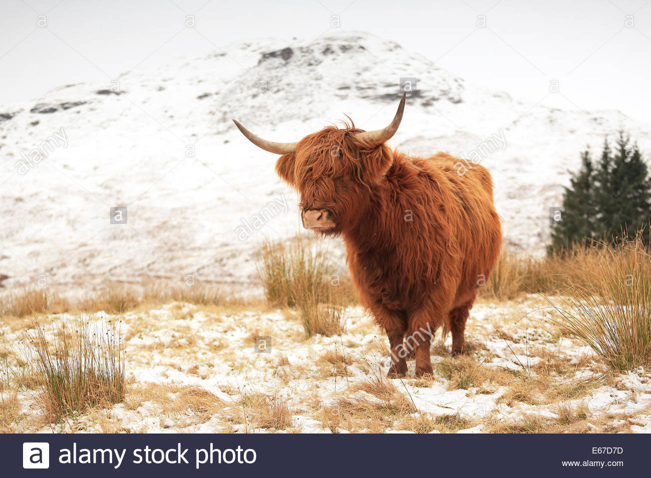Highland Cow on a snow covered Scottish highland landscape - Stock Image