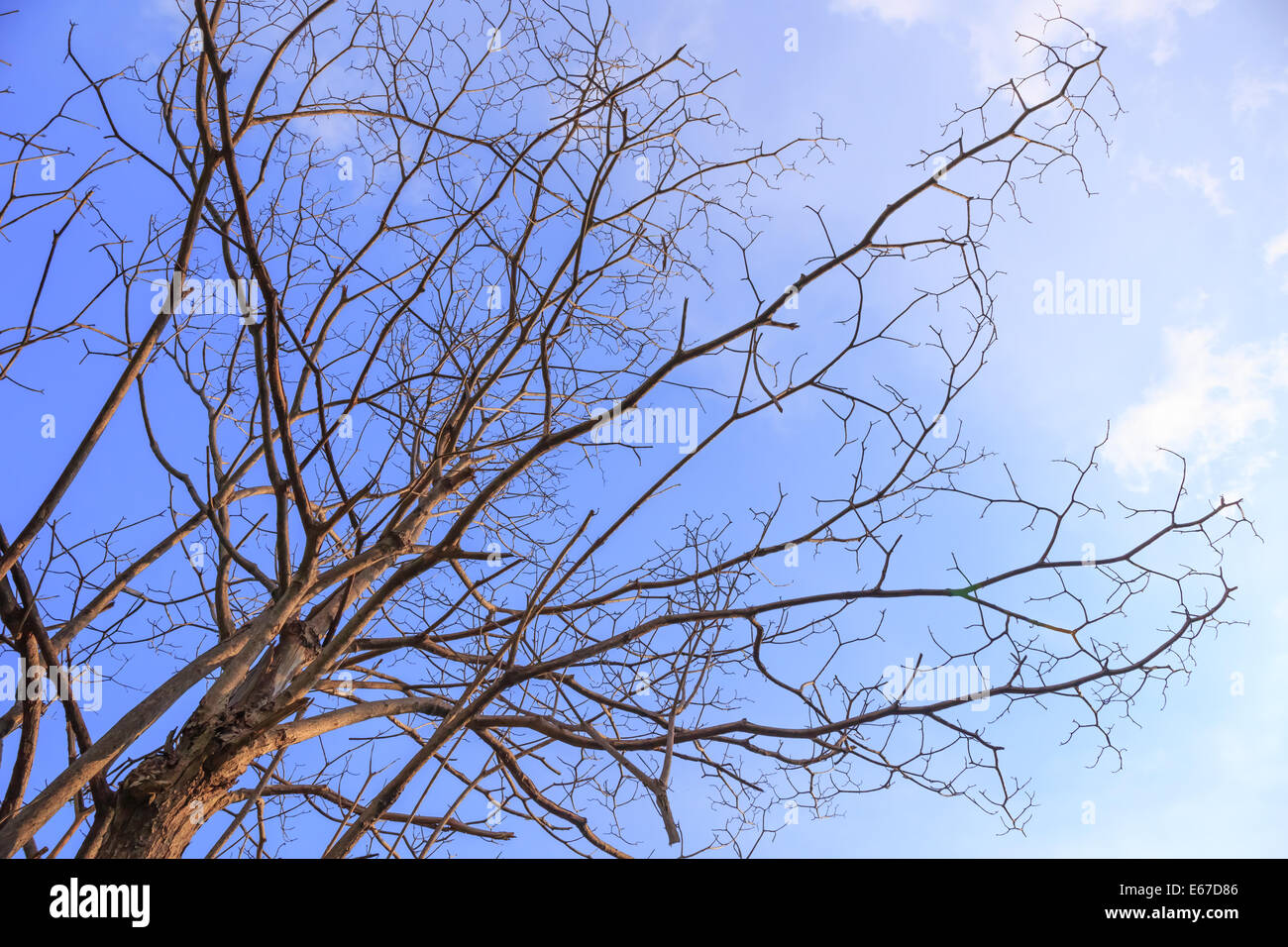 Leafless tree with blue sky - Stock Image