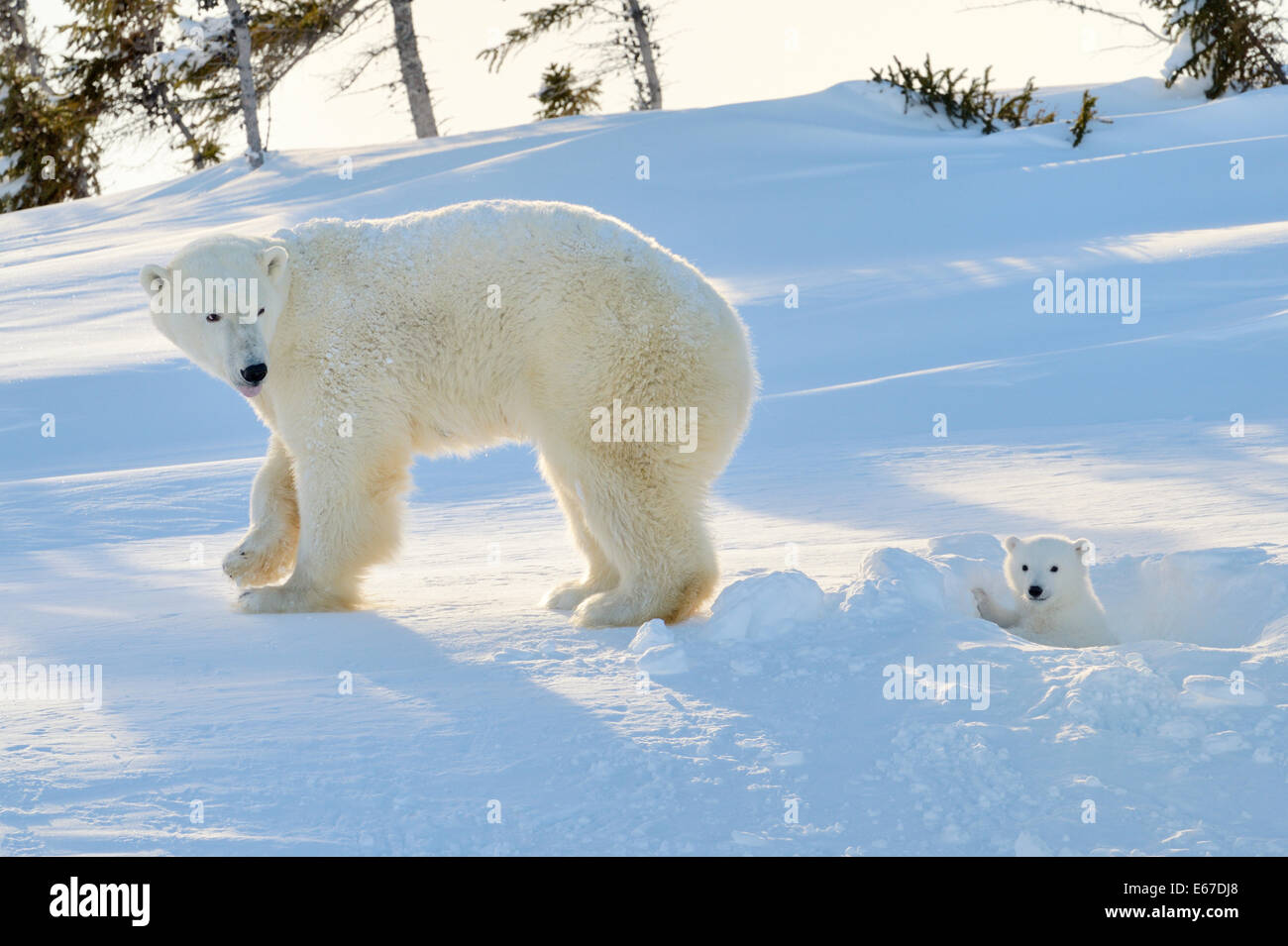Polar bear (Ursus maritimus) mother with cub coming out freshly opened den, Wapusk national park, Canada. - Stock Image