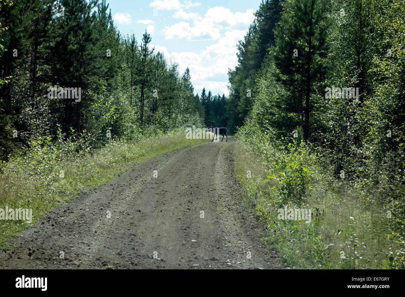 A wild rein deer in the forest, Sweden - Stock Image
