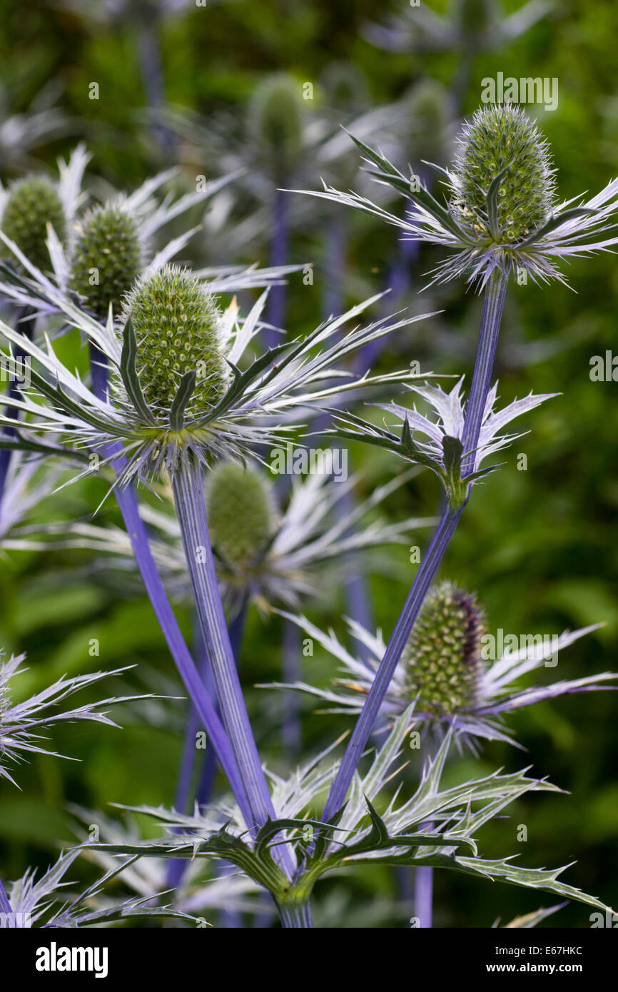 Blue stems and spiky bracts support the flower heads of Eryngium x zabelii 'Forncett Ultra' - Stock Image