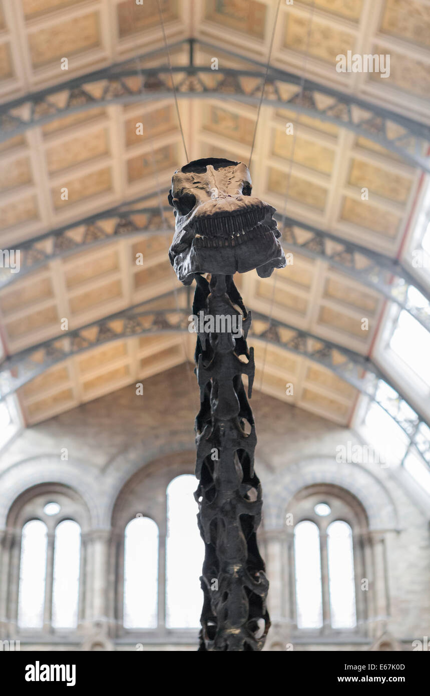 Detail of the dinosaur skeleton at the entrance of the natural history museum, London, England - Stock Image