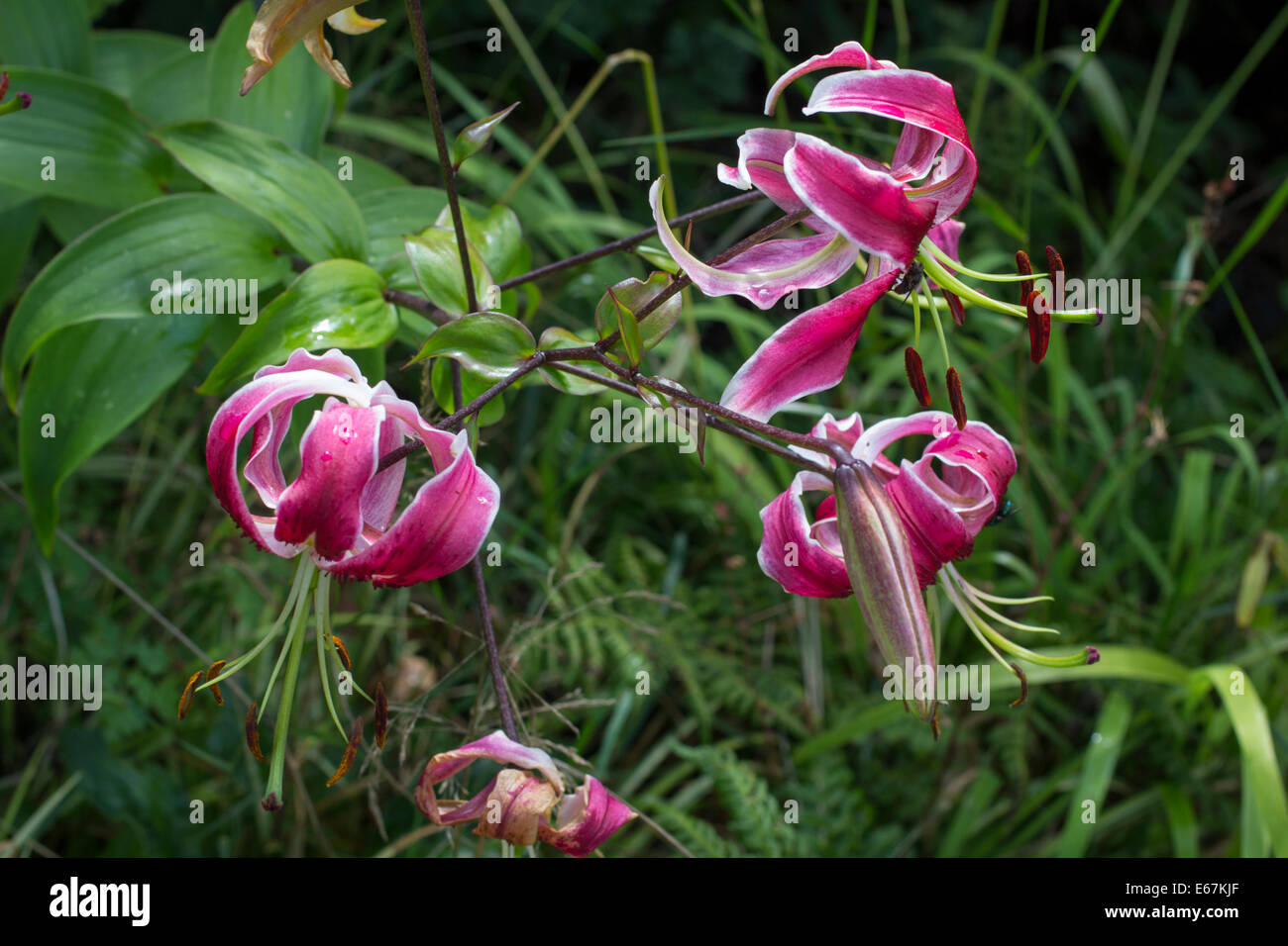 Black lily stock photos black lily stock images alamy flowers of the orienpet lily lilium black beauty stock image izmirmasajfo