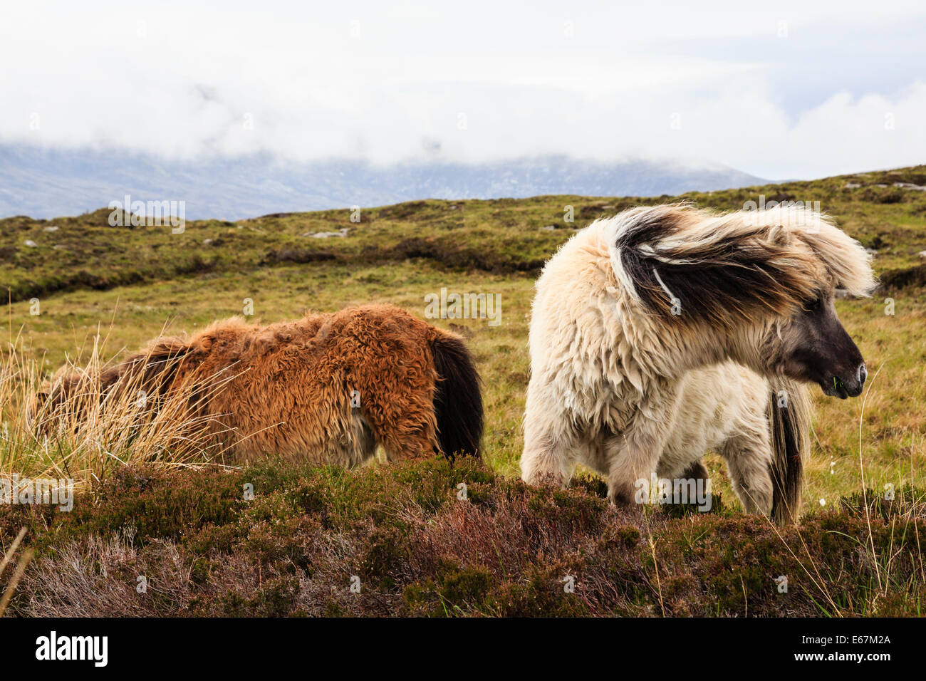 Wild ponies on boggy moorland. Loch Druidibeg National Nature Reserve, South Uist, Outer Hebrides, Western Isles, - Stock Image