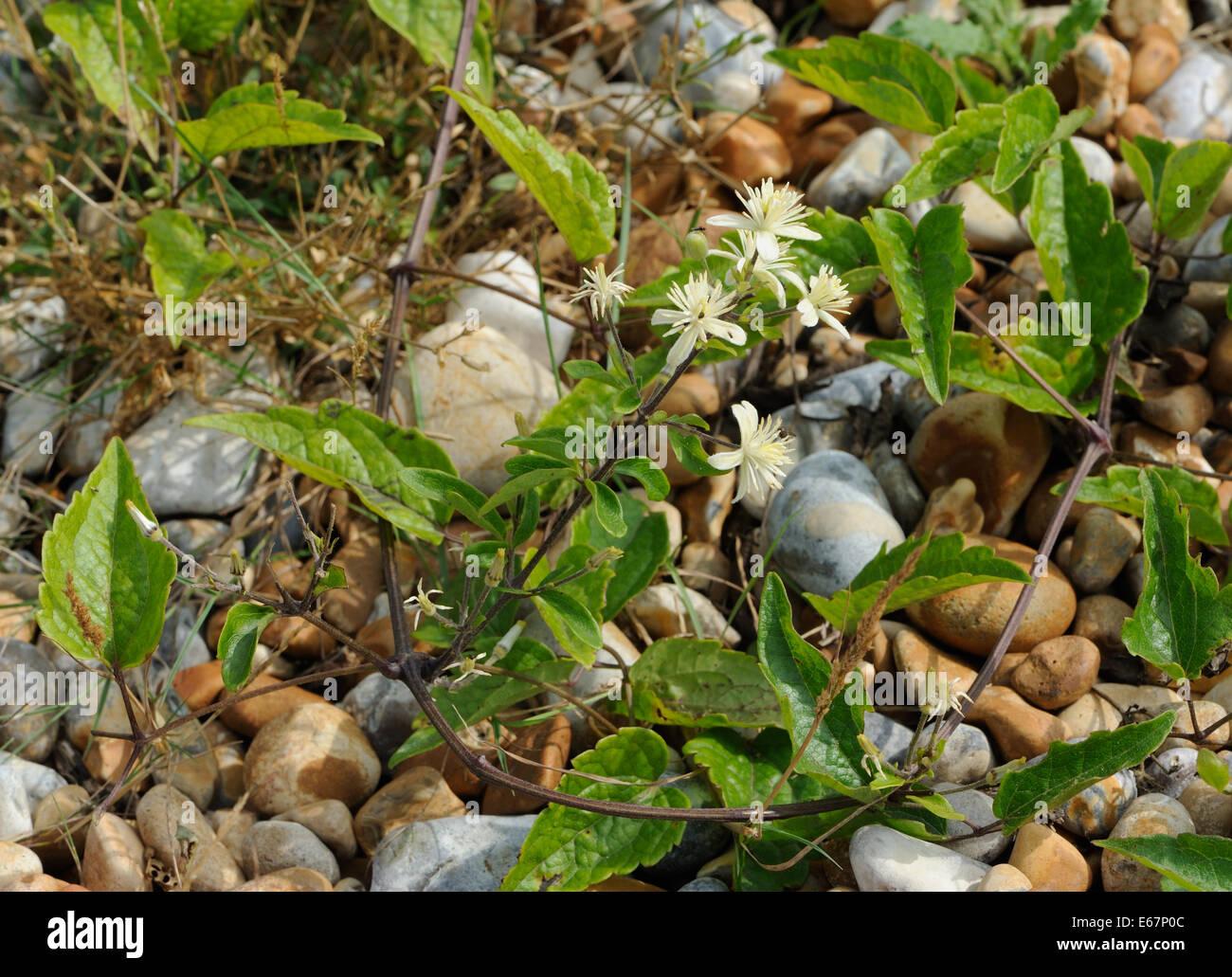 Very subdued plants of old man's beard or traveller's joy (Clematis vitalba) growing on very poor soil in shingle Stock Photo