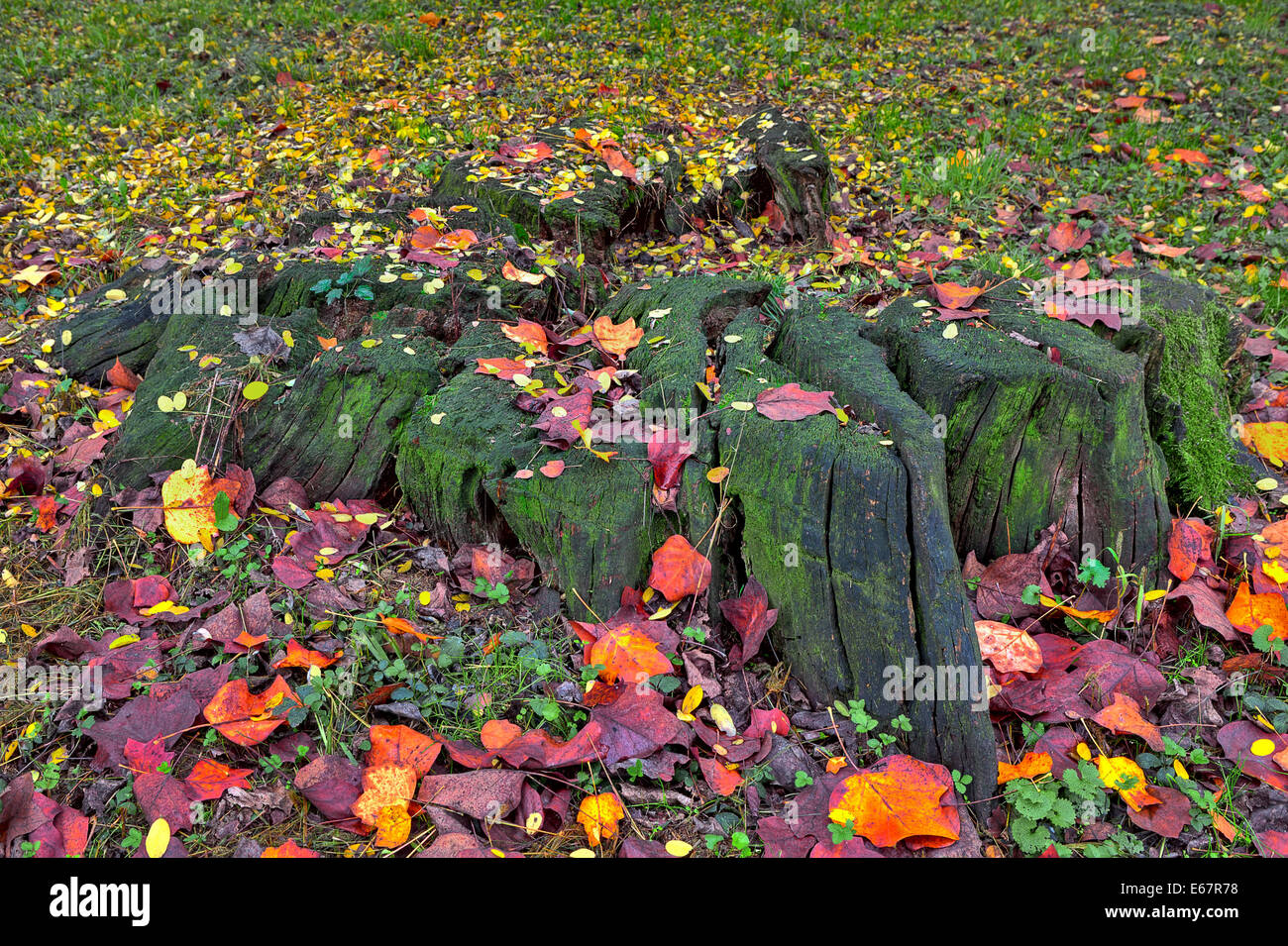 Old tree stump covered with green moss and surrounded by fallen red, yellow and orange leaves in autumn. - Stock Image