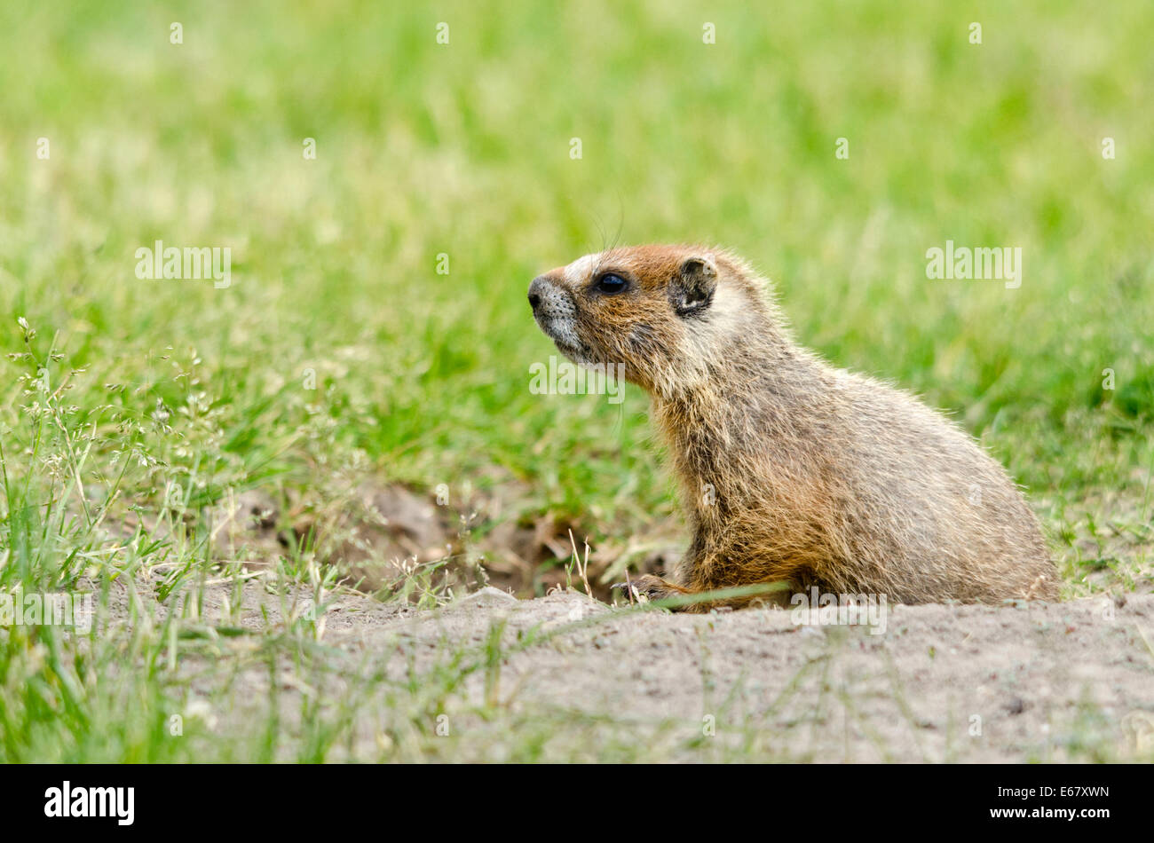 Young Yellow-bellied marmot at its burrow. - Stock Image