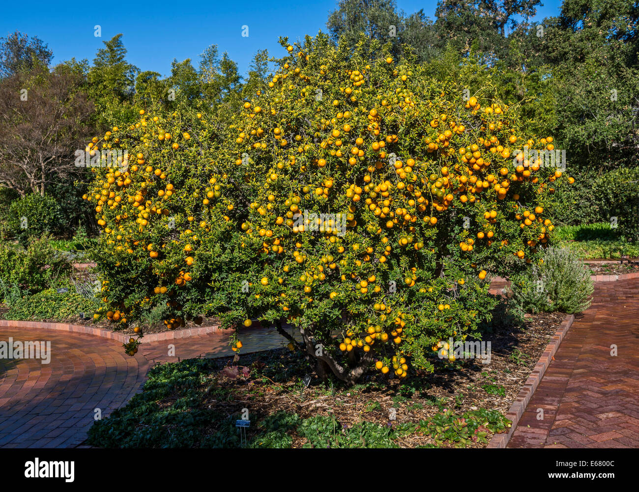 A tree full of Chinotto Oranges, Citrus aurantium at the Huntington Library and botanical gardens. - Stock Image