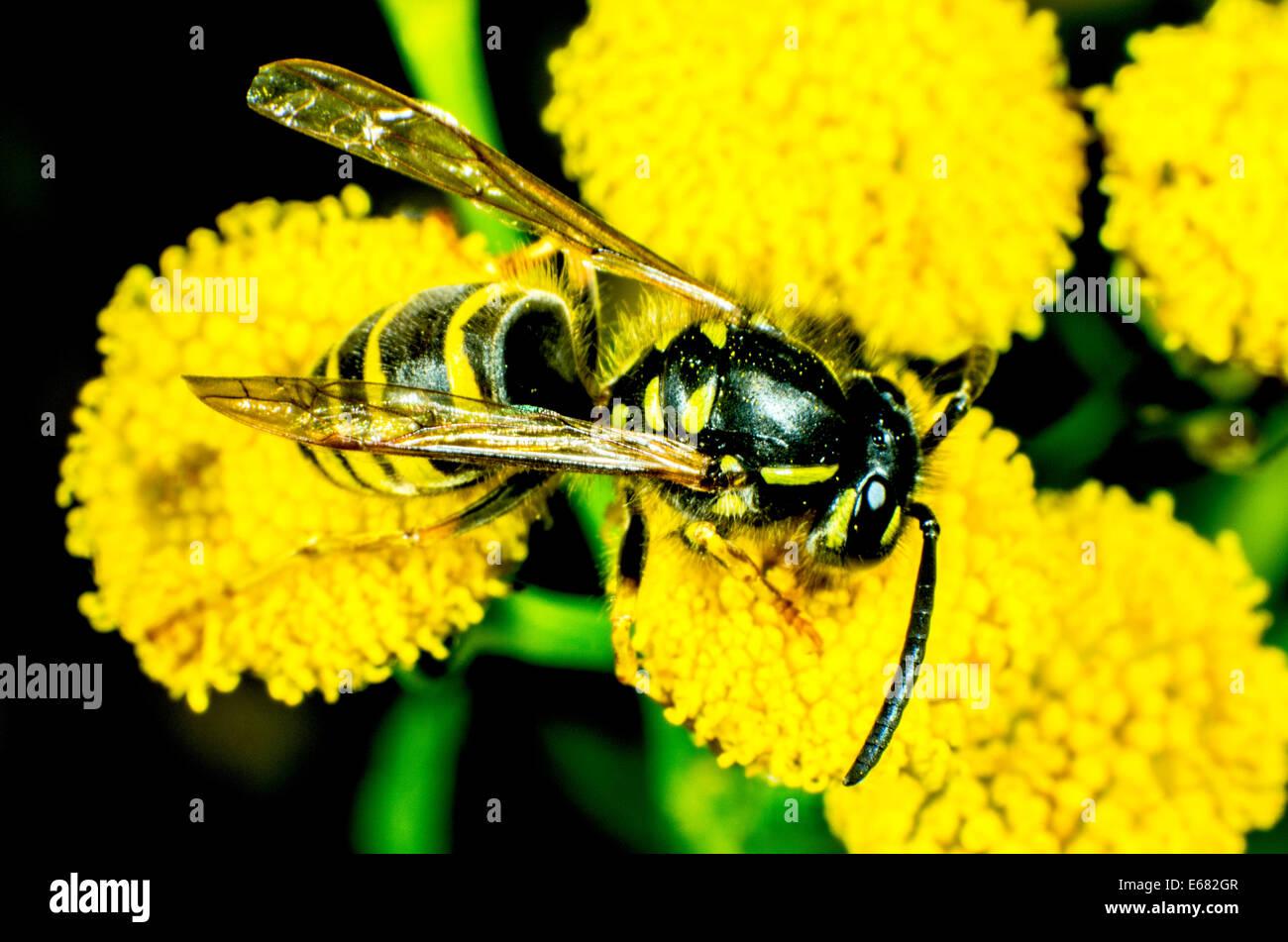 Common Wasp Vespula vulgaris Stock Photo