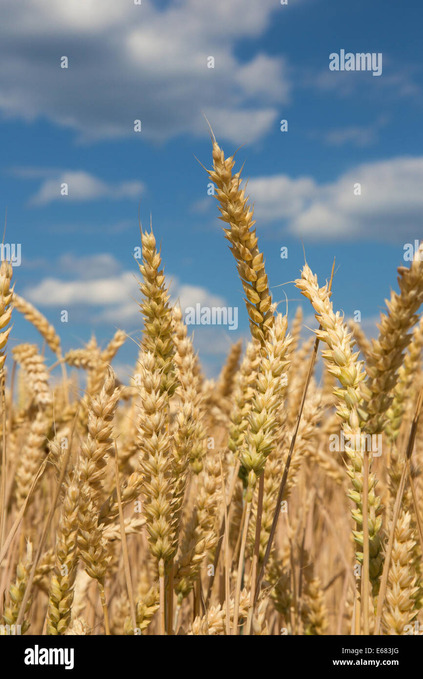 corn for the harvest and the blue sky - Stock Image