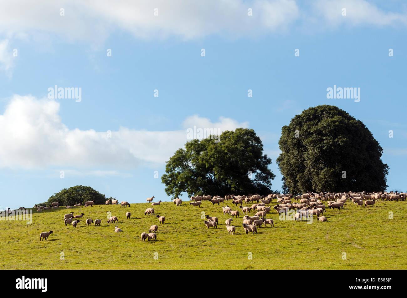 hill farming,sheep farming,sheep, farming, meadow, vibrant, green, white, day, wool, field, grass, summer, walk, - Stock Image