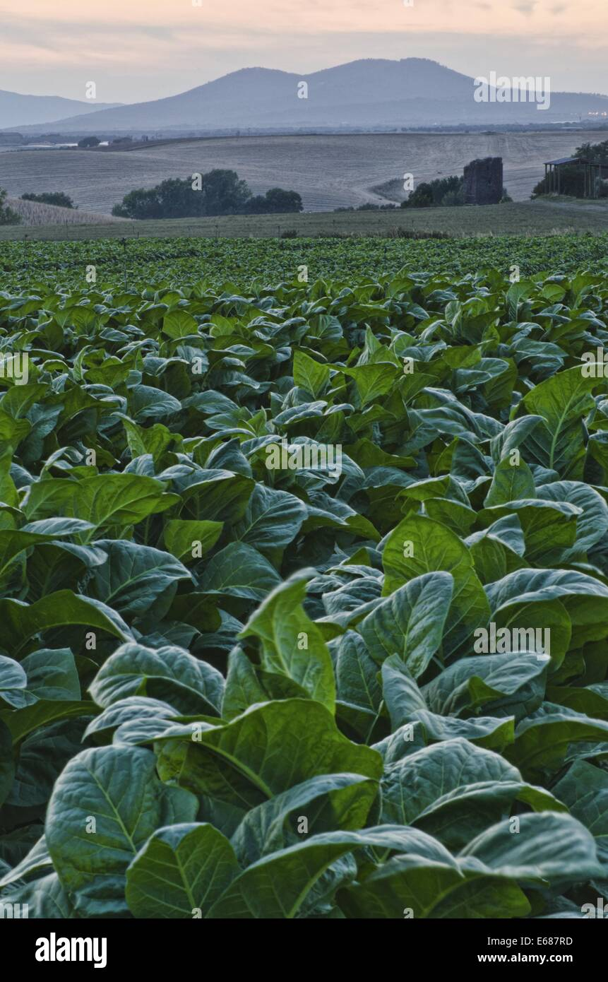 Tobacco coultivation - Stock Image
