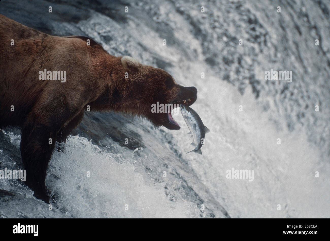 Brown Bear (Ursus arctos) at Brooks Falls on the Brooks River  feeding on the Sockeye salmon making their way to - Stock Image