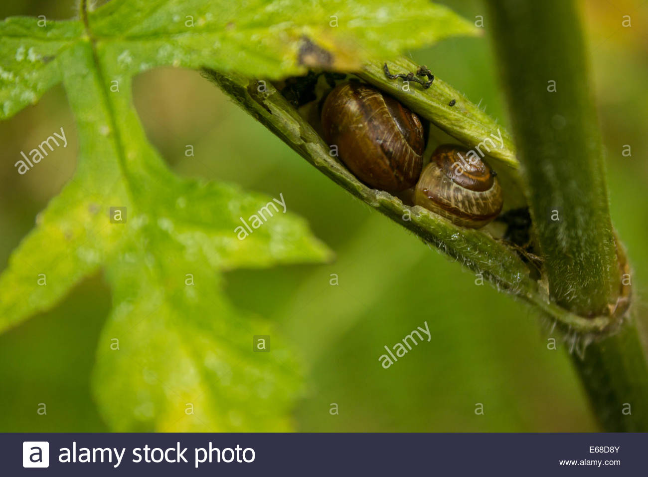 Common Garden Snails Helix aspersa, two individuals shelter in the stem of a plant. Peak District, October. - Stock Image