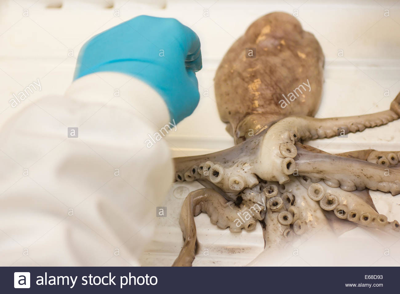 European squid Loligo vulgaris, in a lab environment this shop bought squid is prepared for dissection, Nottingham, - Stock Image