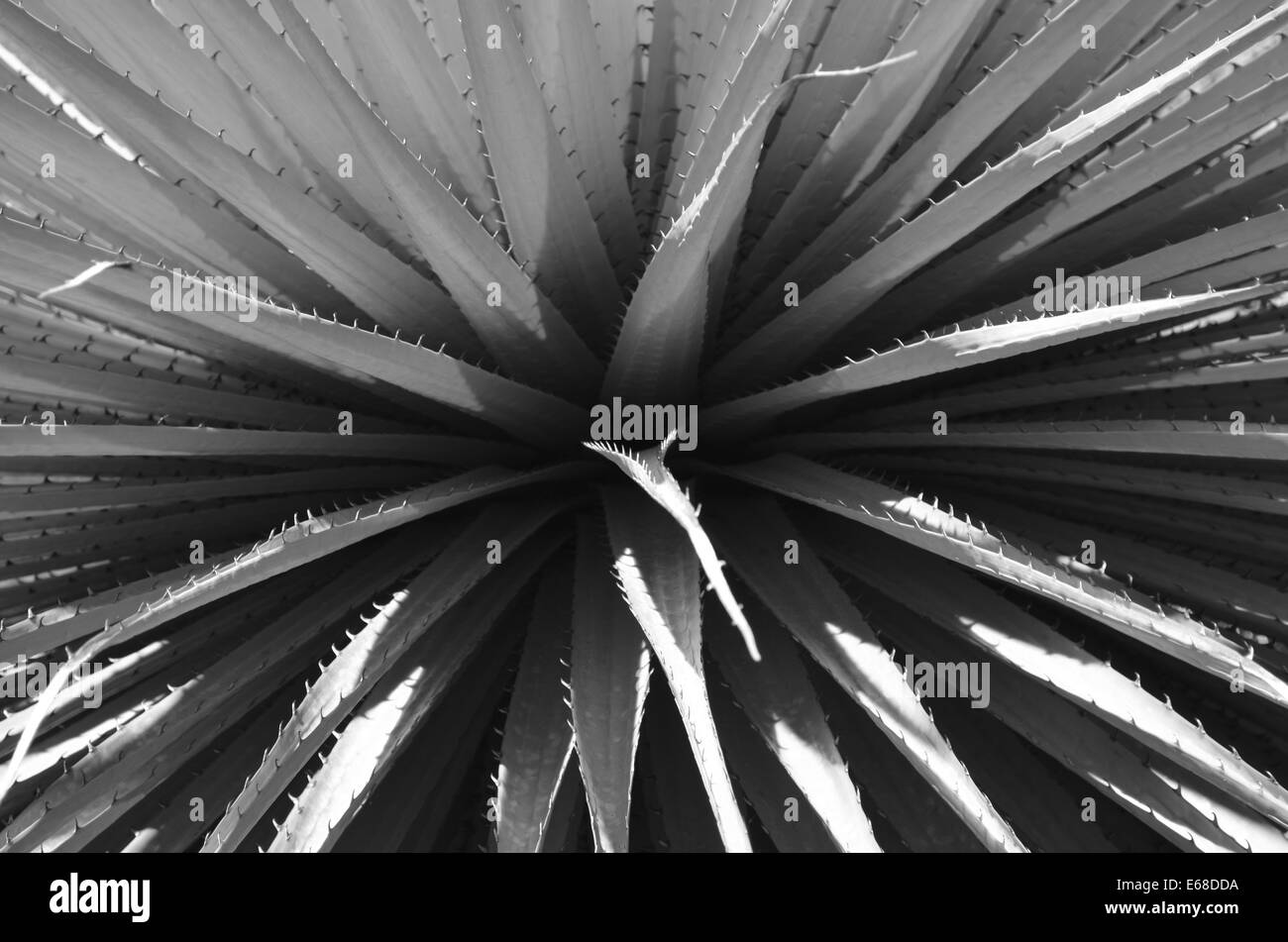 Close up of the leaves of a Puya Raimondi, the worlds largest Bromeliad, endemic across the Andes of Bolivia and - Stock Image