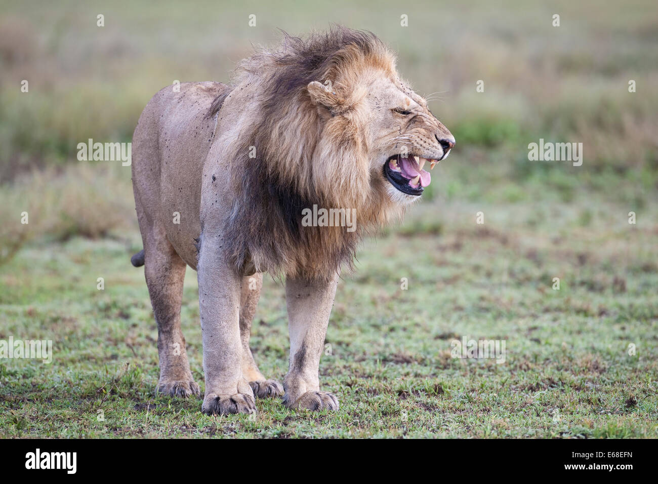 Lion Panthera leo snarling and walking across African grassland - Stock Image