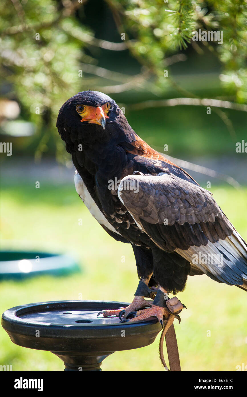 A captive bateleur eagle on a perch showing the anklets and jesses. - Stock Image