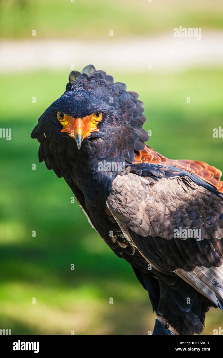 A captive bateleur eagle. - Stock Image