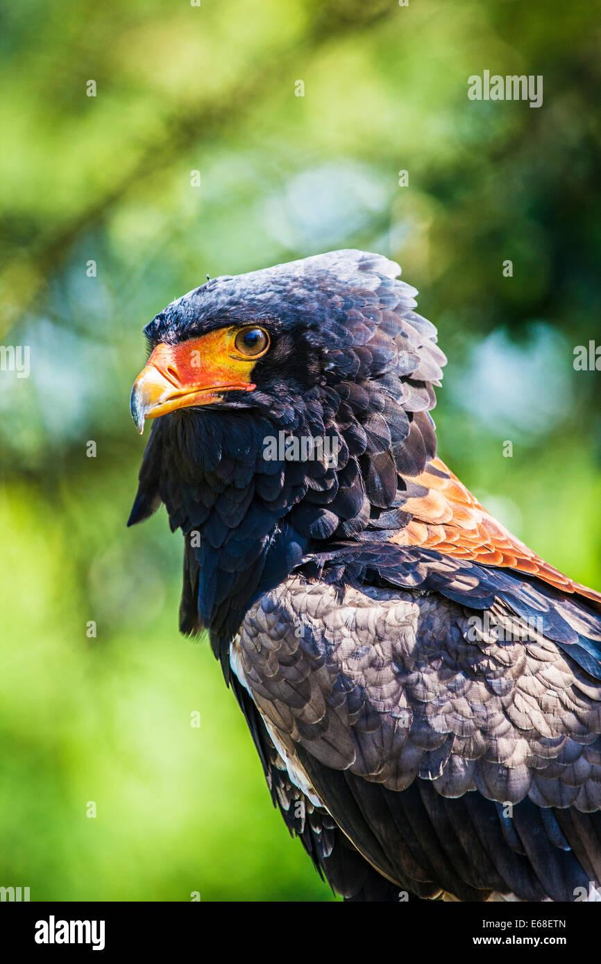 A bateleur eagle, Terathopius ecaudatus. - Stock Image