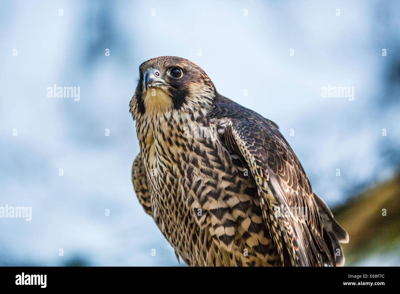 A peregrine falcon, Falco peregrinus Stock Photo