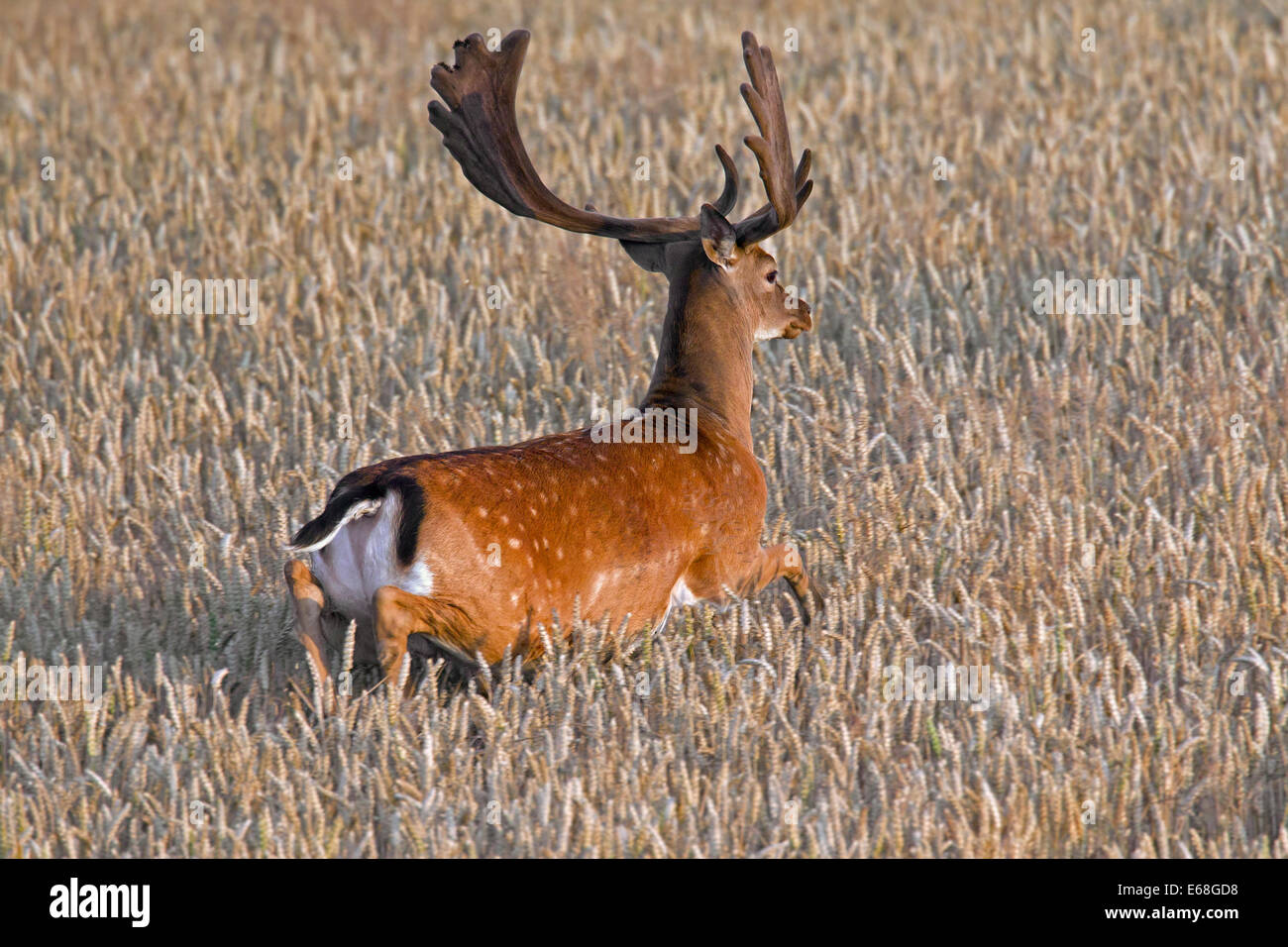 Fallow deer (Dama dama) buck with antlers covered in velvet running through wheat field in summer - Stock Image