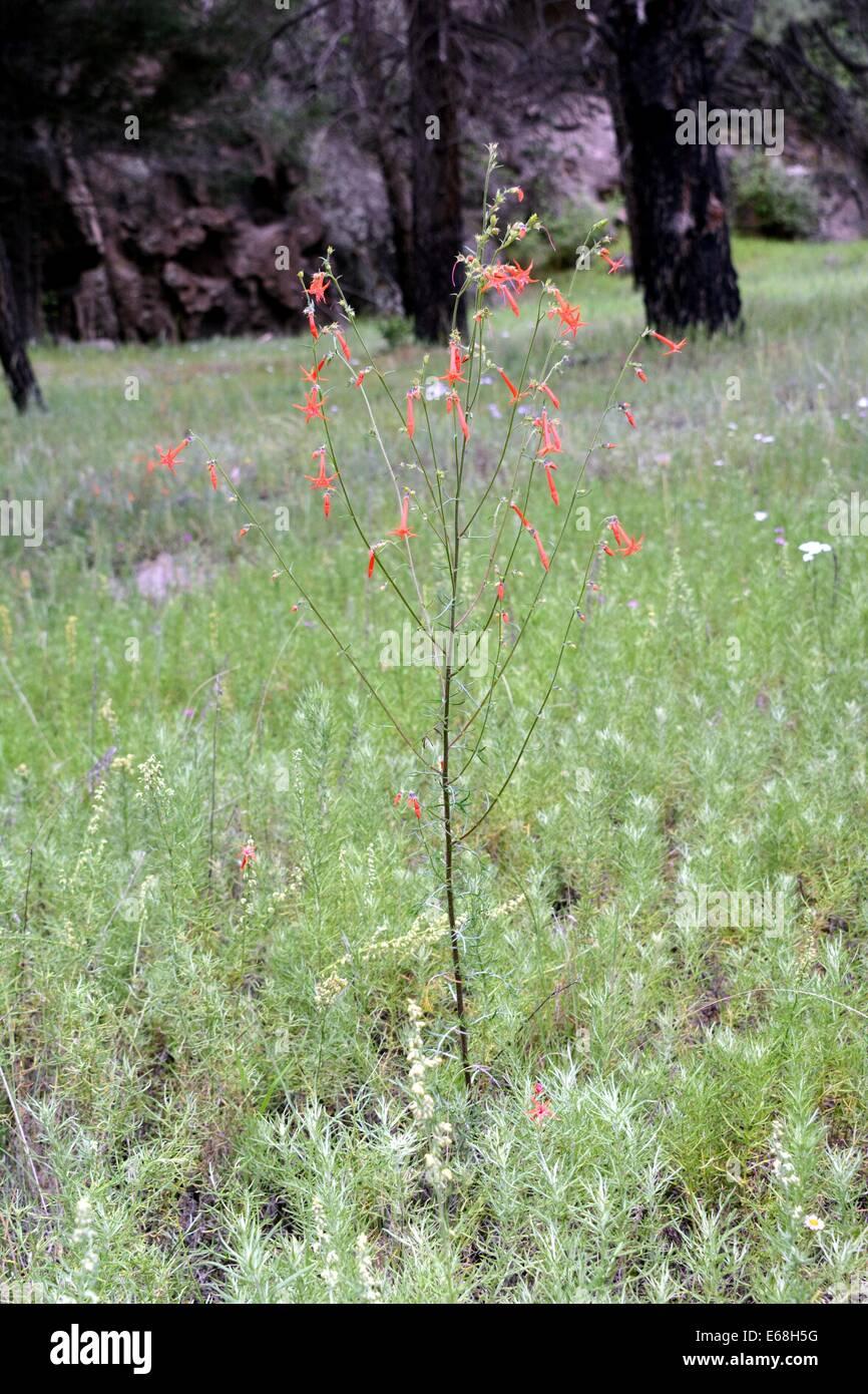 Scarlet Gilia  in bloom in Jemez Mtns of New Mexico - USA - Stock Image