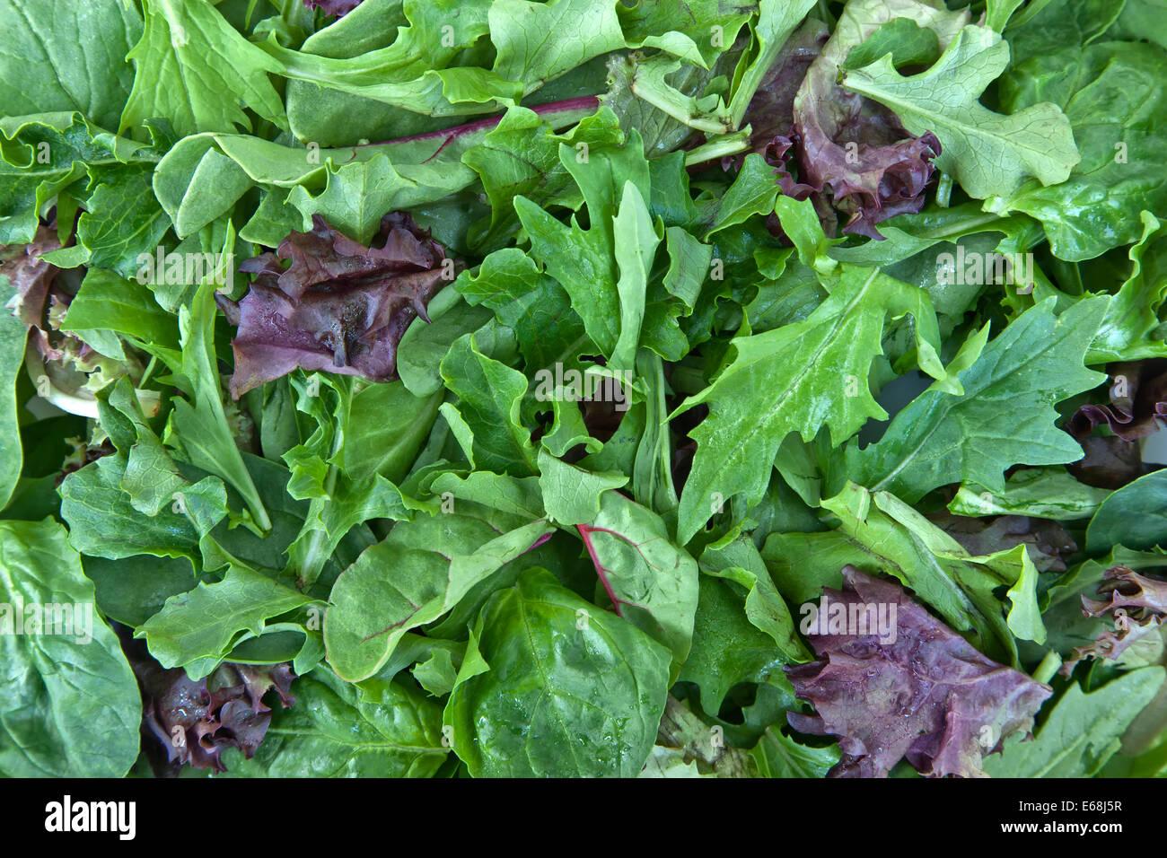 Organic 'baby lettuce' spring mix. - Stock Image