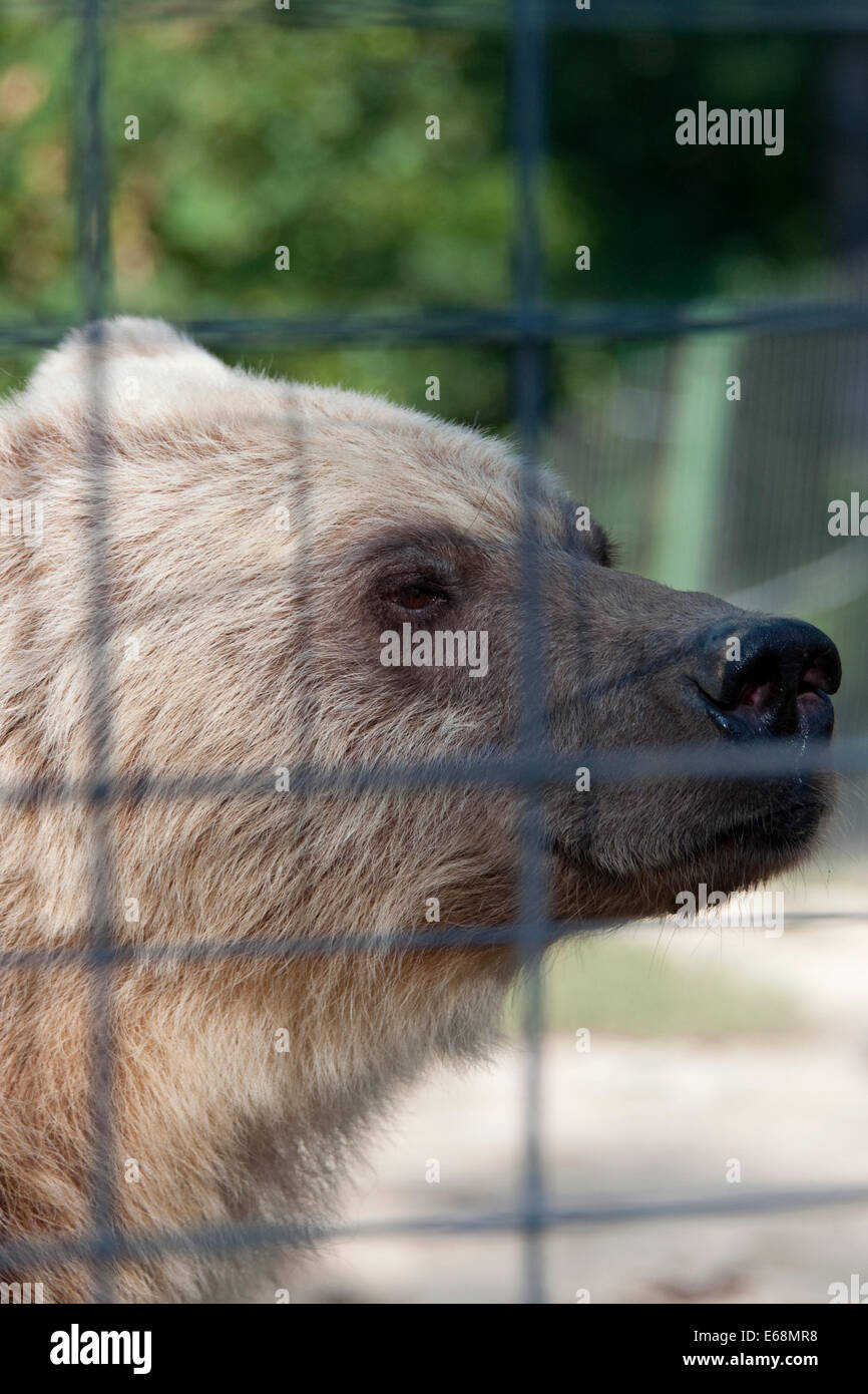 Brown bear in sanctuary - Stock Image