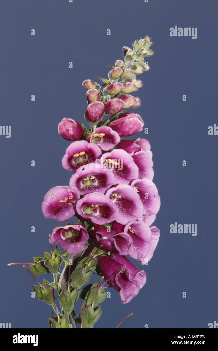 digitalis or foxglove - Stock Image