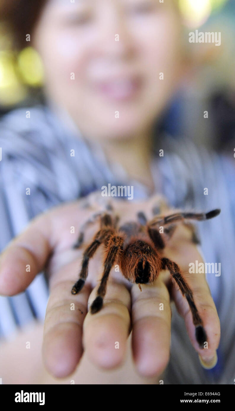 Changchun. 19th Aug, 2014. An exhibitor displays a pet spider at the 13th China Changchun Agricultural Expo in Changchun, - Stock Image