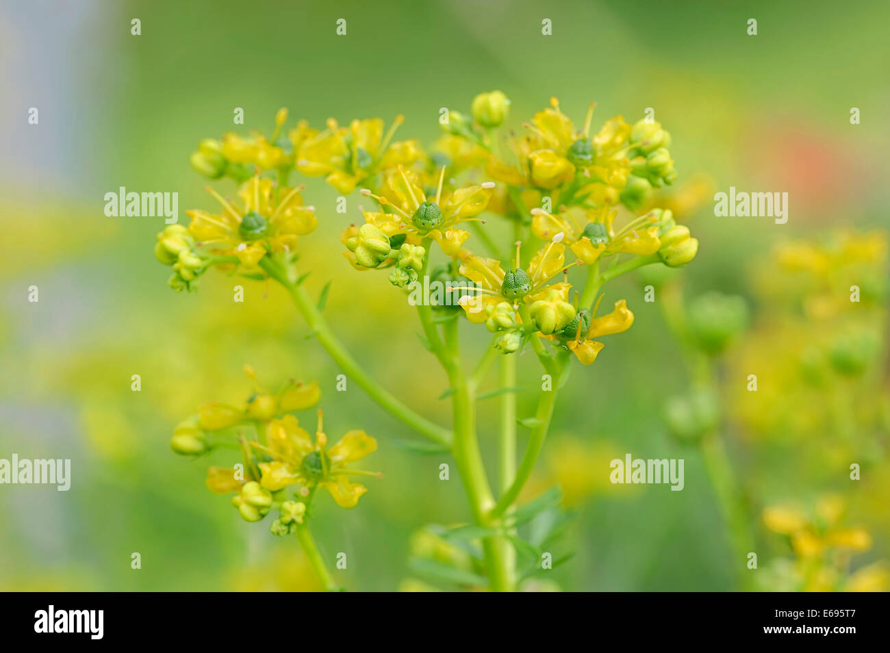 Common Rue or Herb-of-grace (Ruta graveolens), inflorescence - Stock Image