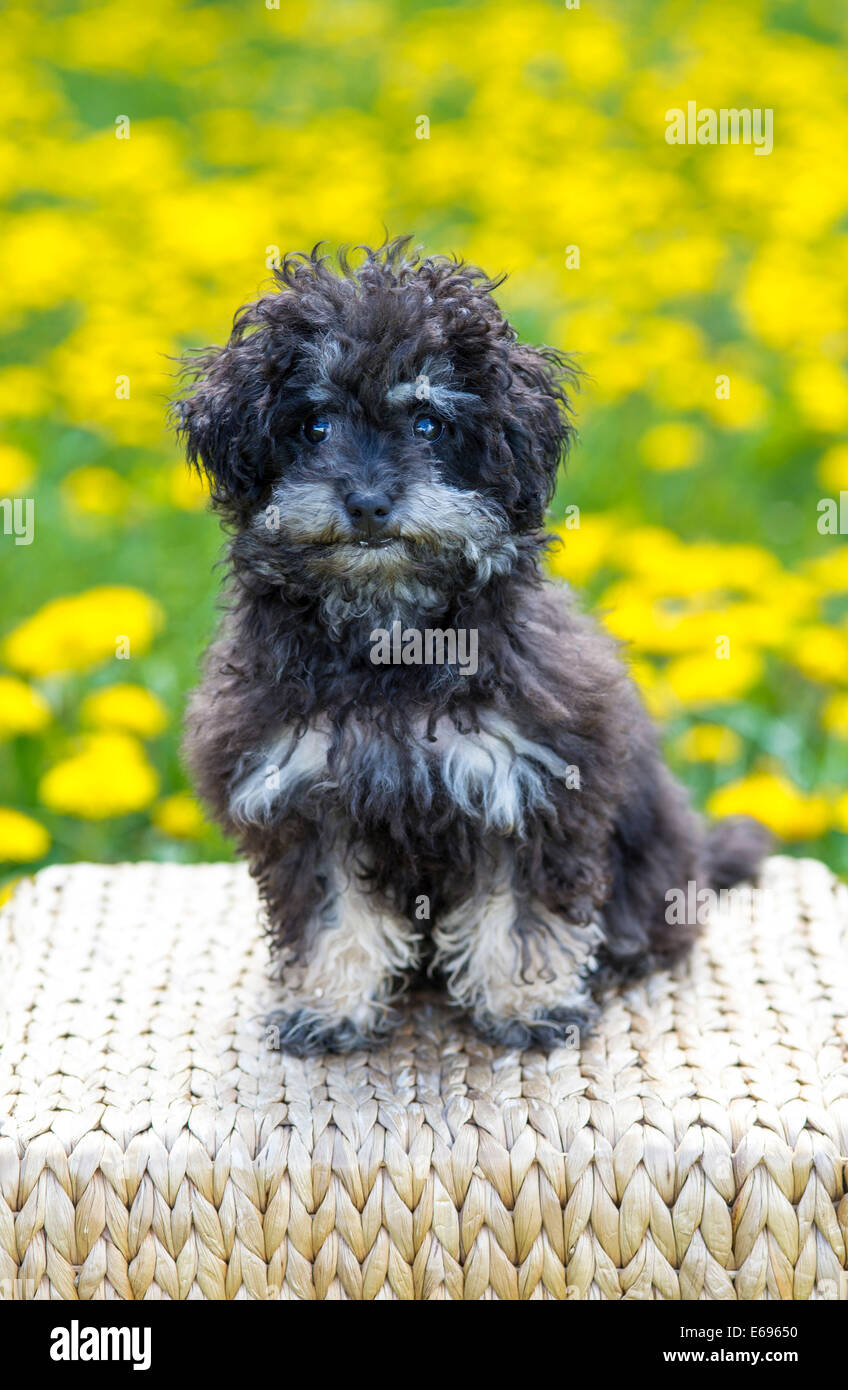 Toy Poodle, or Teacup Poodle, black and tan, Austria - Stock Image