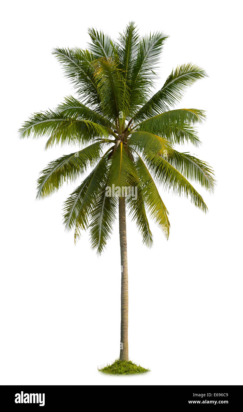 coconut palm tree isolated on white background - Stock Image