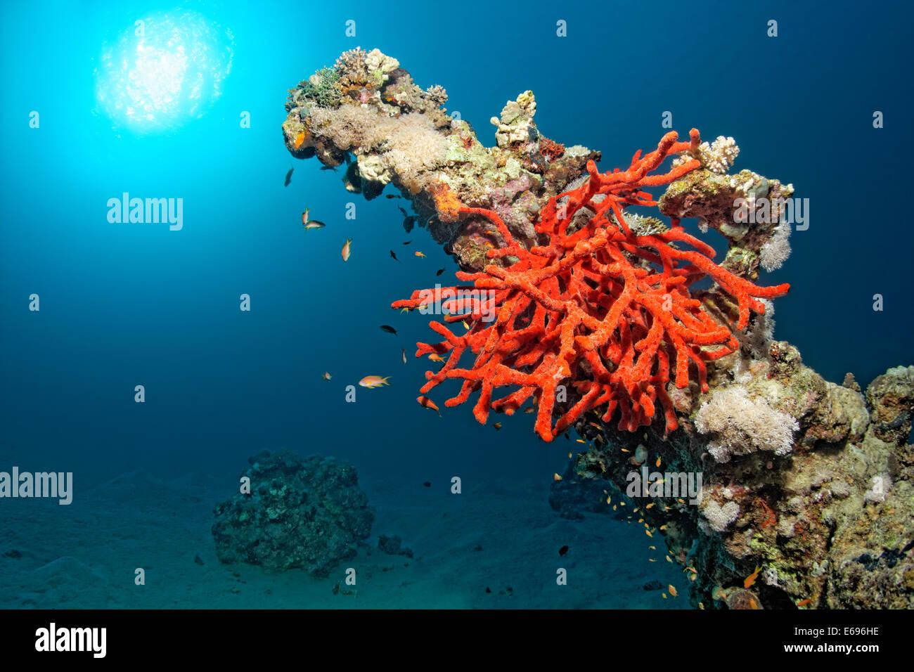 Toxic finger-sponge (Negombata magnifica, Latrunculia magnifica) on coral block, Makadi Bay, Red Sea, Hurghada, - Stock Image