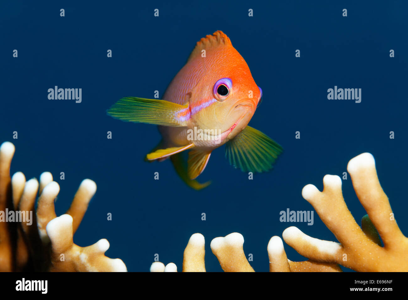 Threadfin goldie (Nemanthias carberryi) over fire coral, Makadi Bay, Red Sea, Hurghada, Egypt - Stock Image