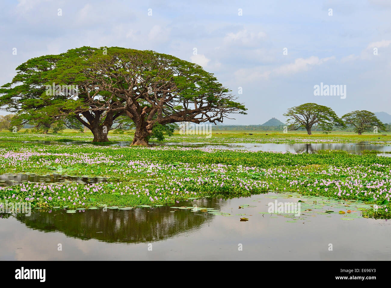 Trees on the artificial lake Tissa Wewa, Tissamaharama, Southern Province, Sri Lanka - Stock Image