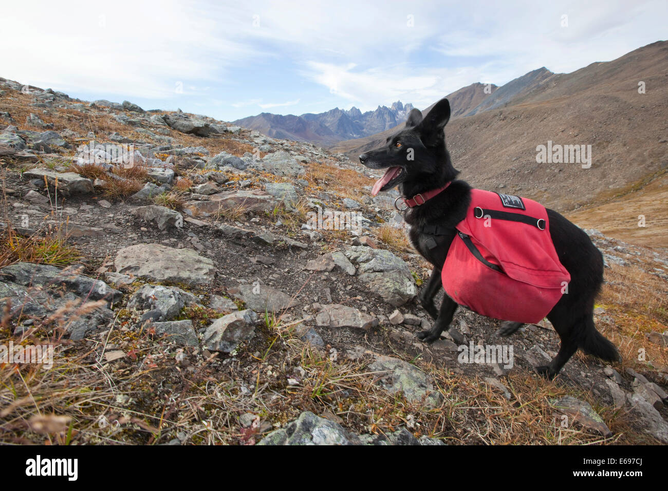 Alaskan Husky as pack dog, with back pack, Tombstone Mountains Territorial Park, Yukon Territory, Canada - Stock Image