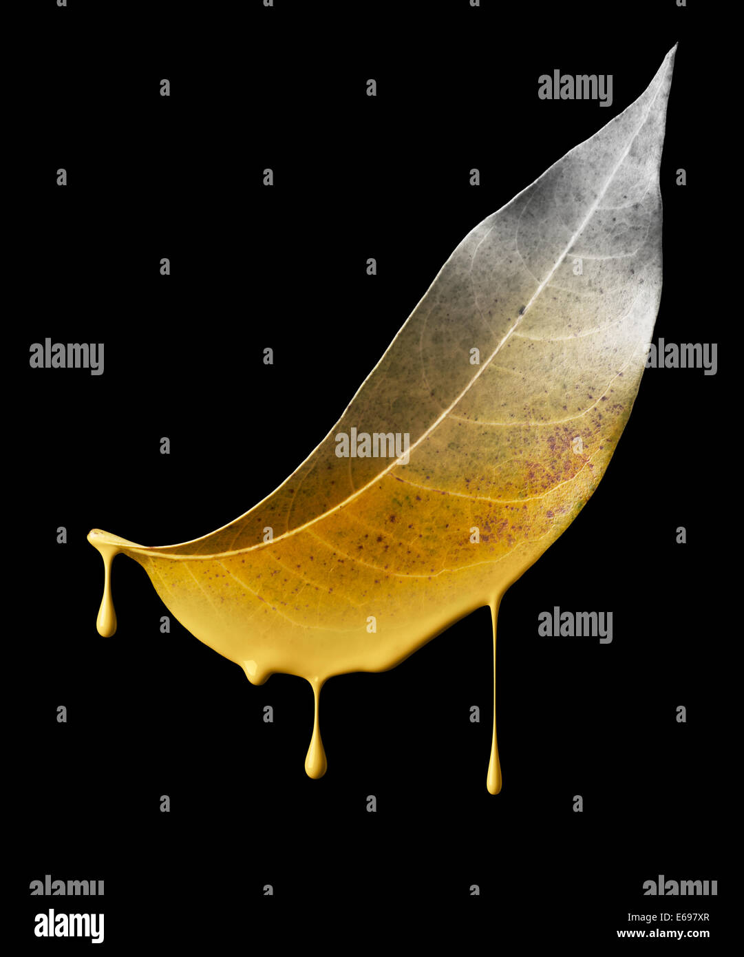 color dropping off from dried leaf, environmental damage concept - Stock Image