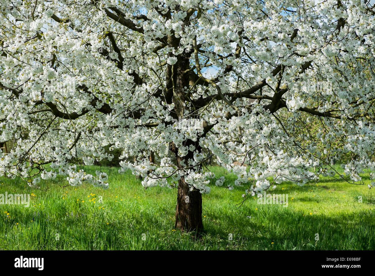 Fruit tree in blossom, Bodenseekreis district, Baden-Württemberg, Germany - Stock Image