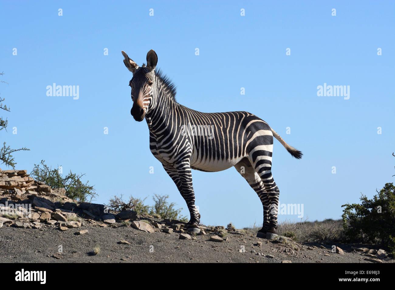 Cape Mountain Zebra (Equus zebra zebra), Western Cape, South Africa Stock Photo