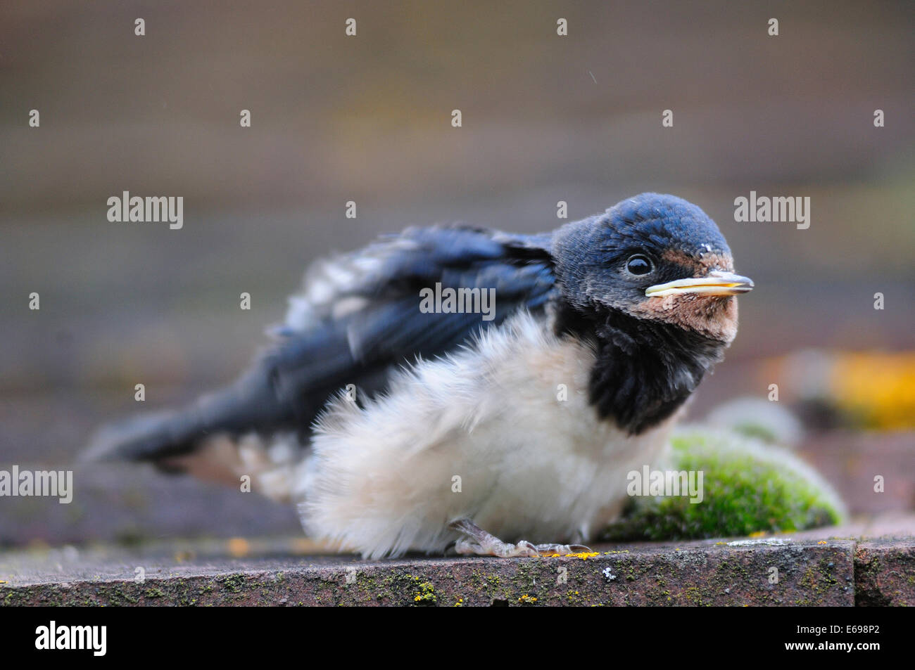 Swallow fledgeling on roof tiles - Stock Image
