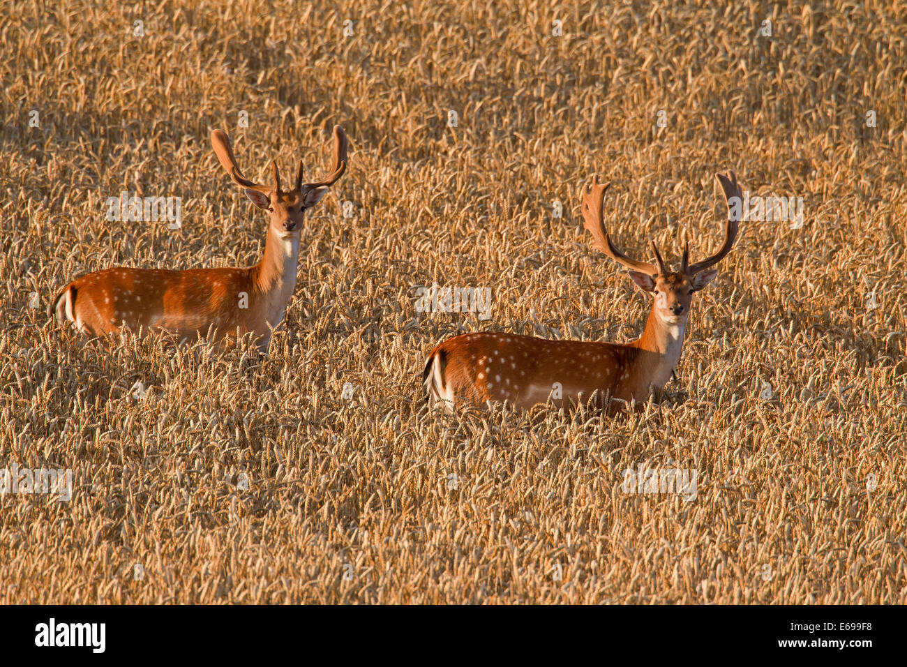 Two fallow deer (Dama dama) bucks with antlers covered in velvet in wheat field in summer - Stock Image
