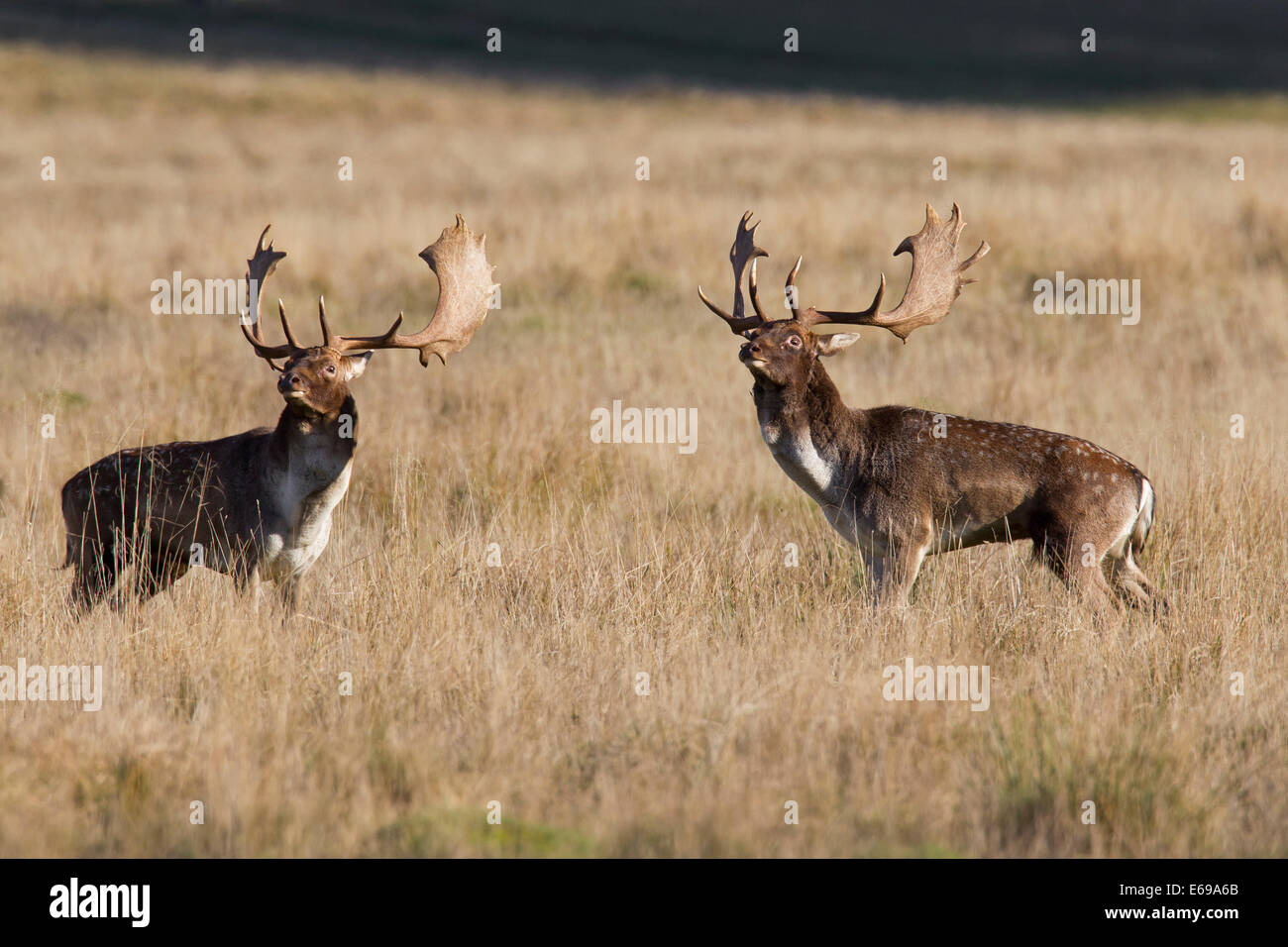 Two Fallow deer (Dama dama) bucks sizing each other up before fighting during the rutting season in autumn - Stock Image