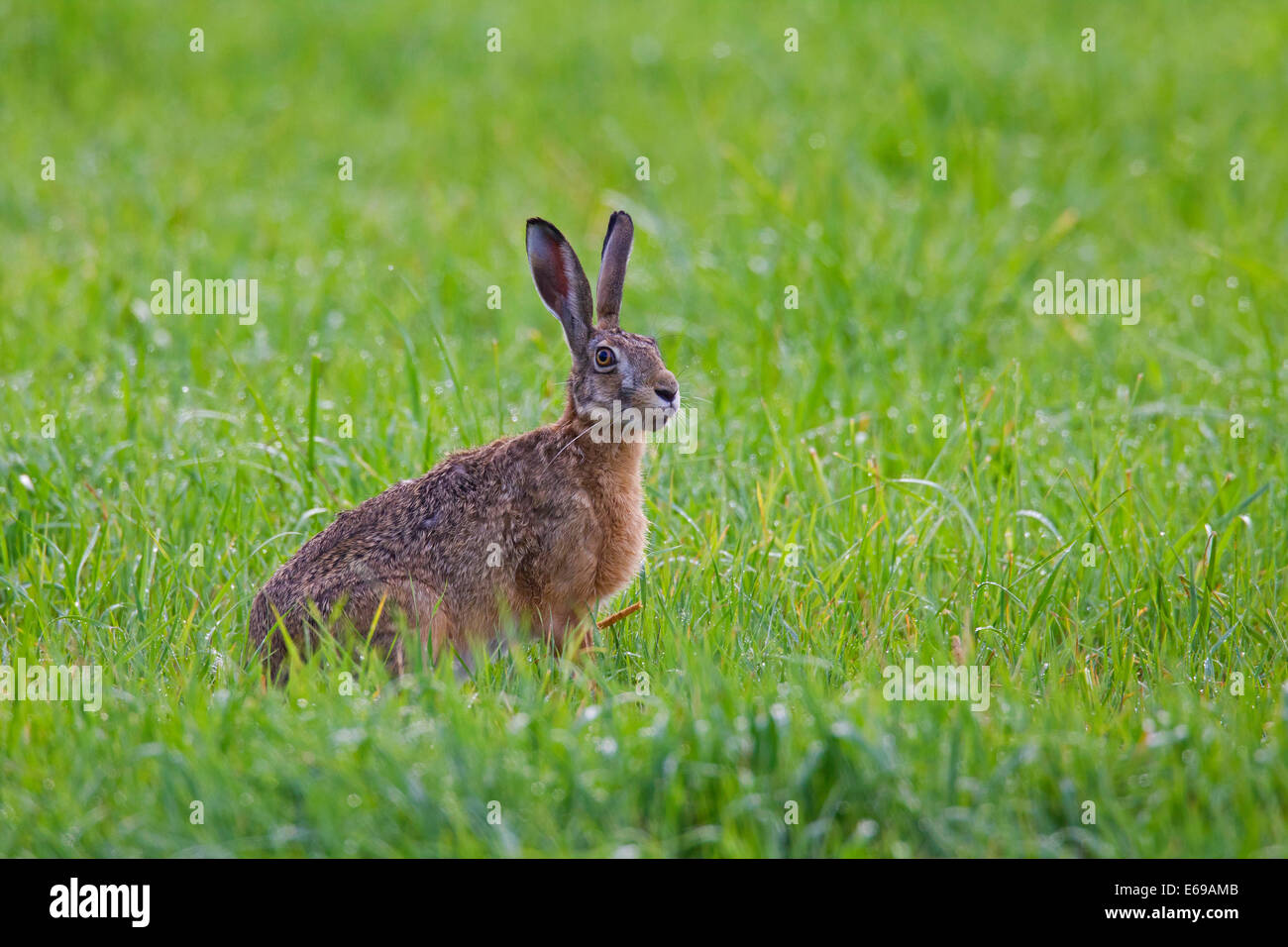 European Brown Hare (Lepus europaeus) sitting in meadow - Stock Image