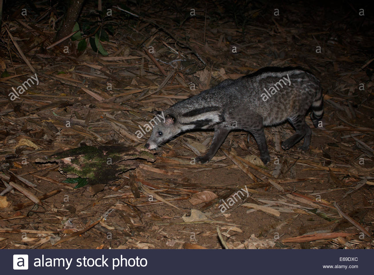 The large Indian civet (Viverra zibetha) is a civet native to South and Southeast Asia. It is listed as Near Threatened - Stock Image