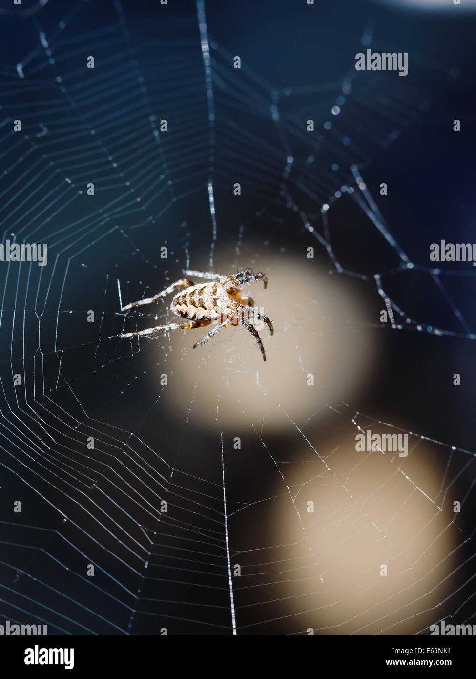 female European garden spider on spiderweb close up outdoors - Stock Image