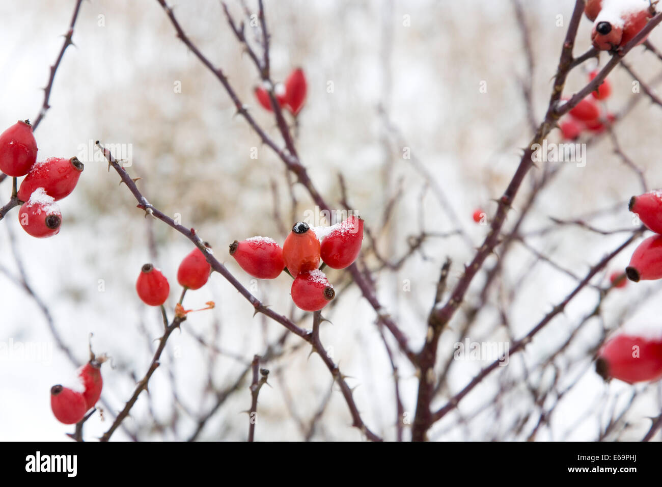 rose hips,field rose bush - Stock Image