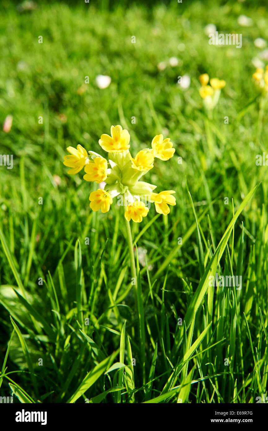 Summer Garden Cowslip Flowers Stock Photo