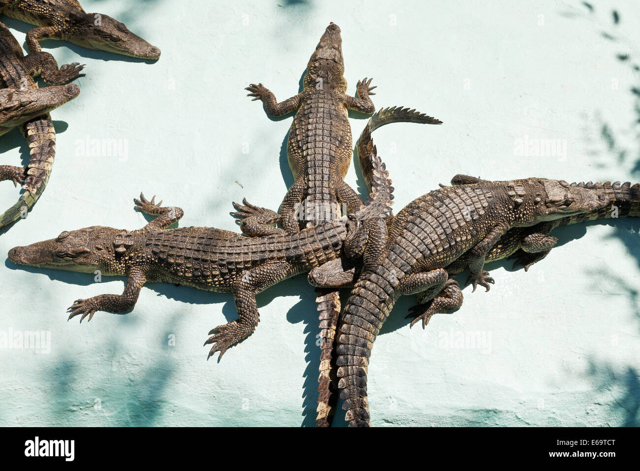 few young crocodiles on Crocodile Farm outdoors Stock Photo